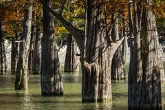 I tronchi dei cipressi di palude sono completamente unici nella loro bellezza e struttura Un gruppo di taxodium distichum del cip fotografia stock libera da diritti