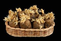 I tuberi germogliati di una patata Fotografia Stock