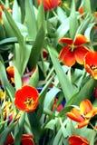 I tulipani arancio stanno fiorendo in giardino fotografia stock