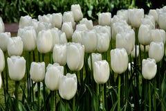 I tulipani bianchi puri fioriscono nel campo del tulipano immagini stock libere da diritti