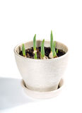 I tulipani cominciano a germogliare nel vaso Fotografie Stock