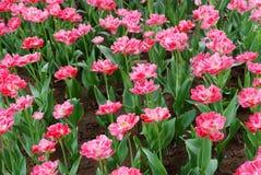 I tulipani dentellare Immagine Stock Libera da Diritti