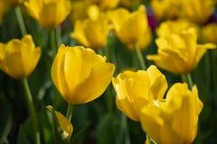 I tulipani gialli fioriscono un giorno soleggiato nel parco su un fondo delle foglie verdi fotografia stock libera da diritti