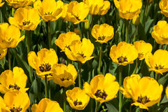I tulipani gialli sboccia in parco a Almaty, il Kazakistan BAC della primavera Immagine Stock