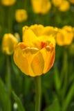I tulipani gialli sboccia in parco a Almaty, il Kazakistan BAC della primavera Fotografia Stock
