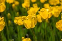 I tulipani gialli sboccia in parco a Almaty, il Kazakistan BAC della primavera Fotografia Stock Libera da Diritti