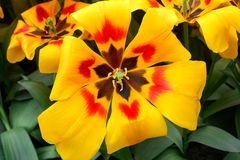 I tulipani, giardino di Keukenhof, Paesi Bassi Fotografia Stock