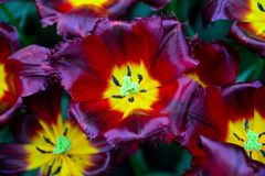 I tulipani, giardino di Keukenhof, Paesi Bassi Fotografia Stock Libera da Diritti
