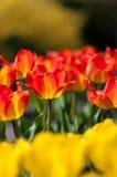 I tulipani ibridi di un Darwin nel fuoco tra l'altro Fotografie Stock Libere da Diritti