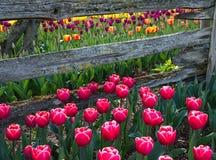 I tulipani incorniciano un recinto di legno della ferrovia spaccata immagine stock