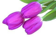 I tulipani isolalted su bianco Immagine Stock