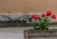 I tulipani nel vento Immagine Stock Libera da Diritti