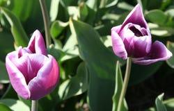I tulipani porpora per quanto l'occhio può vedere, attira molti turisti Immagine Stock