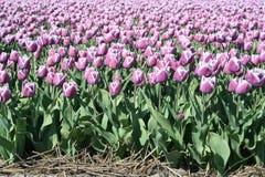 I tulipani porpora per quanto l'occhio può vedere, attira molti turisti Immagine Stock Libera da Diritti