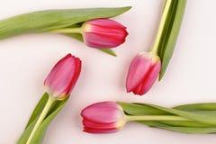 Disposizione del tulipano Fotografia Stock Libera da Diritti
