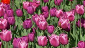 I tulipani rossi come fondo ondeggia nel vento stock footage