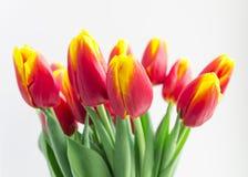 I tulipani rossi e gialli del bello fiore del mazzo hanno isolato il vaso ed il fondo bianco Fotografia Stock Libera da Diritti