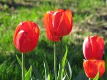 I tulipani rossi fioriscono vicino su con il modello del fondo del tulipano fotografia stock libera da diritti