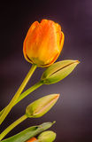 I tulipani rossi, gialli ed arancio fiorisce, disposizione floreale, fine su, fondo nero Immagine Stock Libera da Diritti