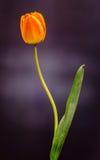 I tulipani rossi, gialli ed arancio fiorisce, disposizione floreale, fine su, fondo nero Immagine Stock