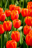 I tulipani rossi nella foto del giardino sono stati presi sopra: 2015 3 28 Immagini Stock