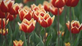 I tulipani rossi si chiudono in su