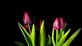 I tulipani rossi si sviluppano e fioriscono, al rallentatore stock footage