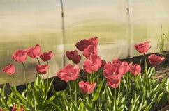 I tulipani rossi si sviluppano su terra Immagine Stock Libera da Diritti