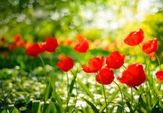 I tulipani rossi sistemano nel fondo molle e caldo Immagini Stock Libere da Diritti