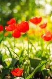 I tulipani rossi sistemano nel fondo molle e caldo Immagine Stock Libera da Diritti