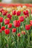I tulipani sistemano l'agricoltura Olanda immagini stock libere da diritti