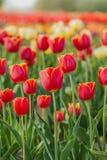 I tulipani sistemano l'agricoltura Olanda immagine stock