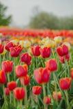 I tulipani sistemano l'agricoltura Olanda immagine stock libera da diritti