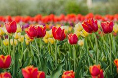 I tulipani sistemano l'agricoltura Olanda fotografia stock libera da diritti