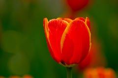 Bordo tulipani gialli/rossi Fotografia Stock