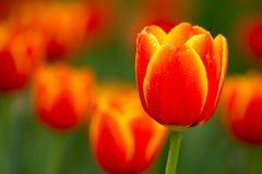 Bordo tulipani gialli/rossi Immagine Stock Libera da Diritti
