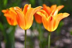 I tulipani stanno meravigliosamente a Detroit Fotografia Stock Libera da Diritti