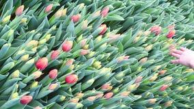 I tulipani sulle piantagioni sono raccolti per una festa per un mazzo o un singolo regalo