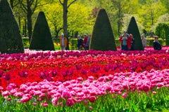 I tulipani variopinti nel Keukenhof parcheggiano, l'Olanda Fotografia Stock Libera da Diritti