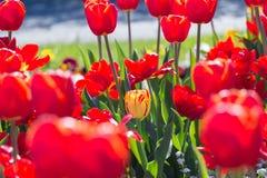 I tulipani variopinti stanno fiorendo su un prato fotografie stock libere da diritti