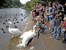 I turisti di Londra si alimentano ai pellicani nel parco del ` di St James Fotografie Stock