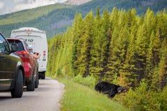 I turisti fotografano un orso selvaggio dalle loro automobili in Banff Nationa Immagini Stock Libere da Diritti