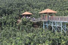 I turisti giocano sull'allerta del ponte di legno della piantagione del pompelmo Fotografia Stock