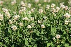 I växten av släktet Trifolium Royaltyfri Foto