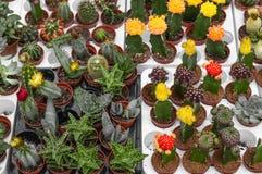 I vari succulenti e piante conservati in vaso dei cactus alla serra fanno il giardinaggio vari cactus sullo scaffale nel deposito immagini stock libere da diritti