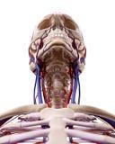 I vasi sanguigni della testa illustrazione di stock