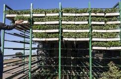I vassoi delle piantine del pomodoro di caricamento dell'agricoltore sul rimorchio tormenta Immagine Stock