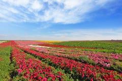 I vasti campi di rosso fiorisce il ranunculus fotografia stock
