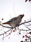 I've Got My Berry. This image of the Bohemian Waxwing was taken on a berry bush in western MT Royalty Free Stock Image