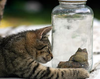 I've Gotta Get Out Of This Place. A cat looking at two toads in a jar Royalty Free Stock Images
